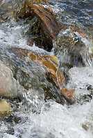 Yellowstone Cutthroat Trout (Oncorhynchus clarkii) in small spawning stream.  Reach maturity at 4 to 5 years. Western U.S., June.