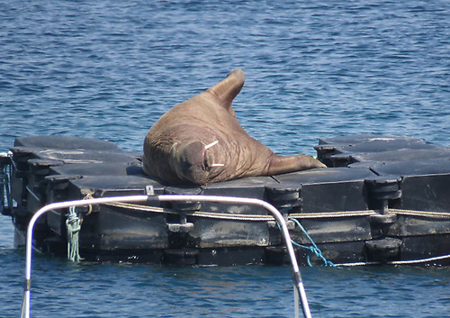 Wally the Arctic walrus resting on a pontoon in the Isles of Scilly in July 2021