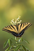 Two-Tailed Swallowtail, Papilio multicaudata, adult on Texas Buckeye (Aesculus glabra), Uvalde County, Hill Country, Texas, USA