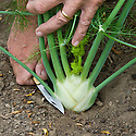 Harvest Florence fennel by slicing off the top of the bulb with a sharp knife. If the base is left in the soil, new feathery leaves should sprout from the stump within the next few weeks. Mid July.