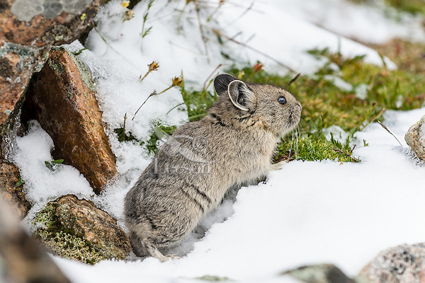 Young American pika (Ochotona princeps) in summer snow.  Beartooth Mountains, Wyoming/Montana border.  Summer.  This photo was taken in alpine setting at around 11,000 feet (3350 meters) elevation.