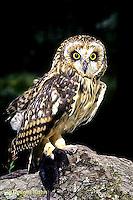 OW05-018z - Short-eared Owl - with mole prey - Asio flammeus