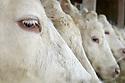 01/04/05 - CHAMPVERT - NIEVRE - FRANCE - GAEC BORDET - Agriculture raisonnee. Charolaises - Photo Jerome CHABANNE