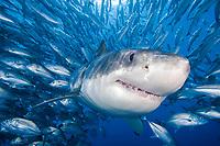 great white shark, Carcharodon carcharias, and schooling bigeye trevally, Caranx sexfasciatus, digital composite
