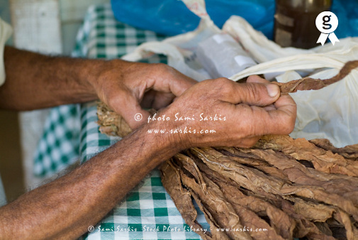 Senior man holding bunch of dried tobacco leaves on table, close up of hands Cuba (Licence this image exclusively with Getty: http://www.gettyimages.com/detail/74583307 )