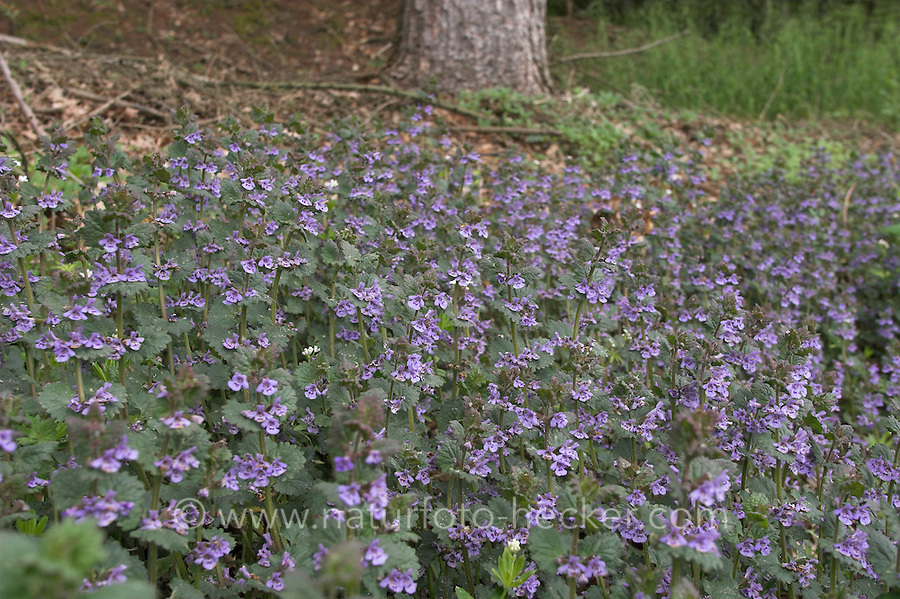 Gewöhnlicher Gundermann, Efeublättriger Gundermann, Glechoma hederacea, Alehoof, Ground Ivy, Lierre terrestre