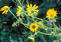 Silphium laciniatum in yellow flowers, aka Compass Flower, Compass Plant or Rosinweed, a native American wildflower