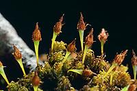 Gewöhnliches Krausblattmoos, Ulota crispa, Orthotrichum crispum