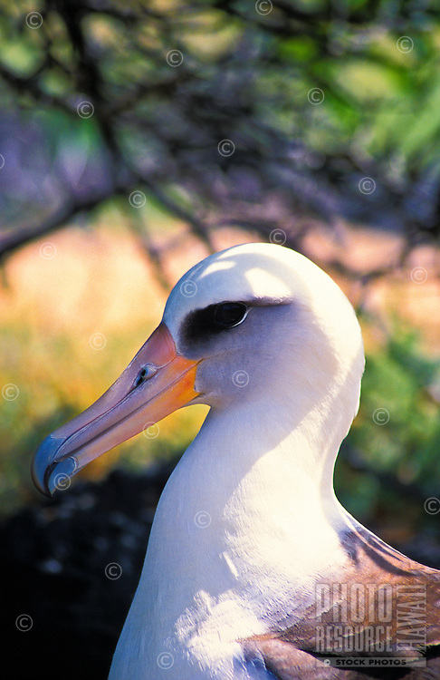 A laysan albatross (diomedea immutabilis) at Kaena point bird sanctuary on Oahu