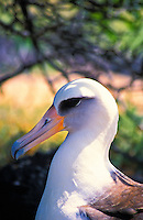 A laysan albatross (diomedea immutabilis) at Kaena point bird sanctuary on Oahu