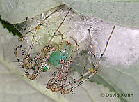 "0922-07ww  Green Lynx Spiderling guarding egg case ""egg sac""  - Peucetia viridans  ""Eastern Variation"" - © David Kuhn/Dwight Kuhn Photography"