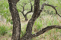 Honey Mesquite tree (Prosopis glandulosa), Rio Grande Valley,Texas, USA