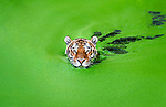 Green wth envy.  Tiger cools down in Copenhagen heat surrounded by duckweed by Henrik Vind