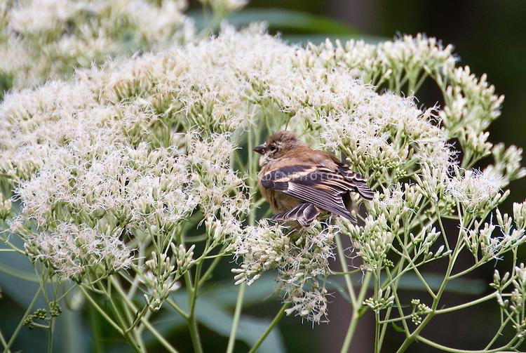 Goldfinch juvenile bird eating native plant Eupatorium purpureum 'Joe White' seeds in garden plant