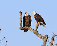 Bald Eagles from the Llano, TX nest verbalizing.