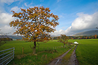 Beech tree in autumn leaf, Bleasdale, Lancashire.