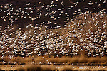 Snow Goose (Chen caerulescens) flock flying, Bosque del Apache National Wildlife Refuge, New Mexico