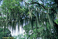 MY17-001z  Spanish Moss hanging from tree - Epiphyte related to Pineapple and not true mosses Tillandsia usneodes..