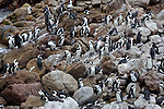 African or Jackass penguin(s), South Africa