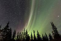 Aurora borealis and white spruce trees