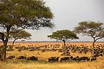 Tanzania Serengeti wildebeest
