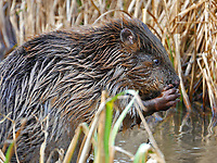 Beavers reintroduced to Dorset for the first time in more than 400 years.