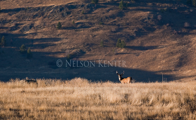 Whitetail buck in Montana