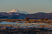 Mount Shasta with snow geese, white-fronted geese, tundra swans and other waterfowl during late winter/early spring migration.  Lower Klamath National Wildlife Refuge, California-Oregon border.  Early morning sunrise.