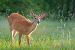 Young white-tailed buck in velvet.