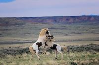 McCullough Peaks Wild Horse Fight, Tecumseh (Father), and Tonkawa (son)