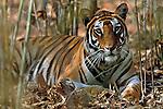 Female Bengal Tiger (Panthera tigris tigris) (Reshma) resting in bamboo forest. Bandhavgarh National Park, India.