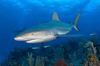 Caribbean Reef Shark, over coral reef, Carcharhinus perezii, Atlantic Ocean, Bahamas