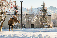 A bull moose browses on ornamental chokecherry trees in the parking lot of UAA's Professional Studies Building.