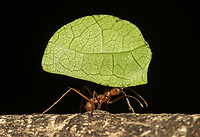 Leaf-cutter ants are all over the place in the Costa Rican rainforests, but they're not easy to photograph.