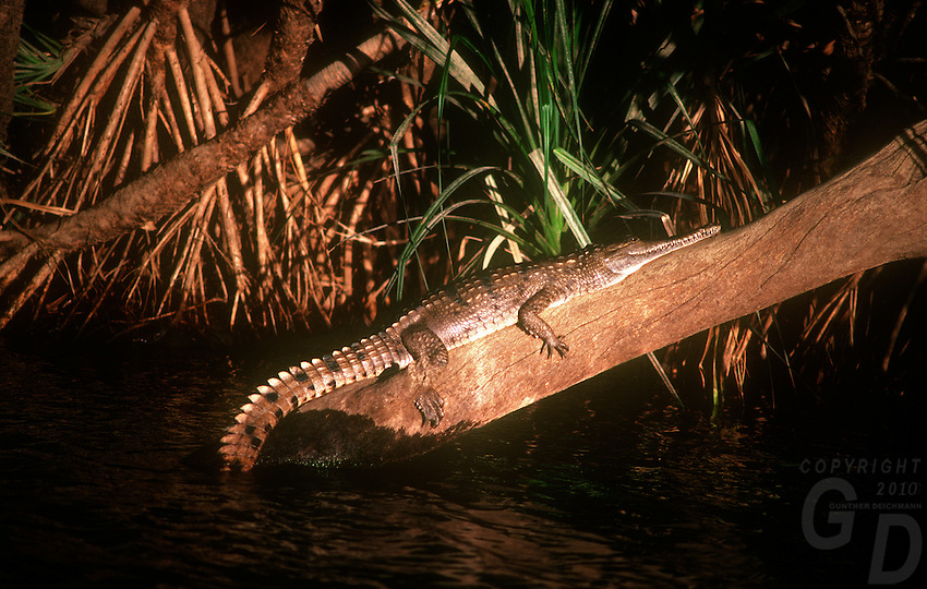 A Freshwater Crocodile in the late afternoon on a tree trunk in Katherine Gorge Northern Territory Australia.<br /> The freshwater crocodile (Crocodylus johnsoni or Crocodylus johnstoni; also known as the Australian freshwater crocodile, Johnston's crocodile or colloquially as freshie, is a species of reptile endemic to the northern regions of Australia.<br /> <br /> Unlike their much larger Australian relative the saltwater crocodile, freshwater crocodiles are not known as man-eaters and rarely cause fatalities, although they will bite in self-defense if cornered.