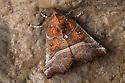 Herald Moth {Scoliopteryx libatrix} hibernating in a limestone cave. Peak District National Park, Derbyshire, UK. October.
