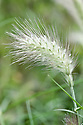 Pennisetum villosum, early July. A tufted perennial grass, often grown as an annual, with narrowly linear leaves and cylindrical, feathery, whitish-green panicles becoming purple with age. Commonly known as Feathertop.