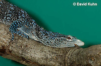 0523-1002  At Zoo, Blue-Spotted-Tree Monitor Climbing a Tree Branch, Varanus macraei  © David Kuhn/Dwight Kuhn Photography