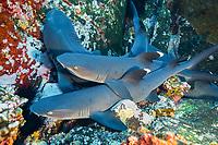 whitetip reef shark, Triaenodon obesus, resting in group on ledge, Roca Partida, Revillagigedo Archipelago, Mexico, Pacific Ocean