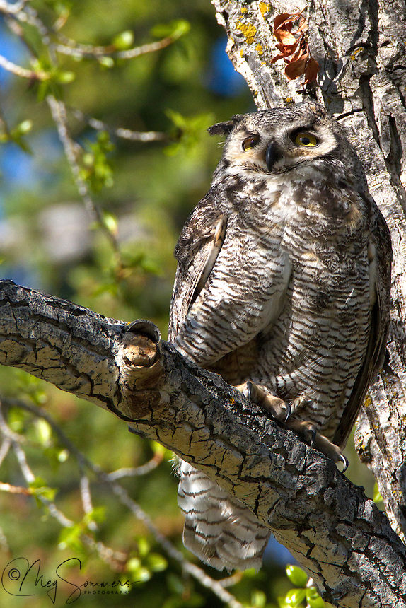 """Found throughout the Americas, the Great Horned owl (Bubo virginianus) has, over time, developed into 14 different specific subspecies by location. Yellowstone's population are a part of the """"Rocky Mountains"""" subspecies. They are distinguishable from the others by their mottled feet. Mammouth, Yellowstone."""