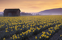 Red barn and rows of yellow daffodils in blossom at sunrise, Mount Vernon, Skagit Valley, Washington