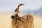 Black-tailed Deer (Odocoileus hemionus) buck browsing, Santa Cruz, Monterey Bay, California
