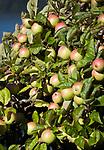 AUT, Oesterreich, Kaernten, Apfelbaum mit Fruechten | AUT, Austria, Carinthia, apple tree with apples