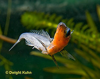 1S13-512z   Male Threespine Stickleback stretching behavior to remove parasites, Mating colors showing bright red belly and blue eyes,  Gasterosteus aculeatus,  Hotel Lake British Columbia
