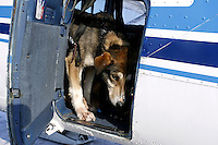 A dropped dog in the back of Jerry Wortley's plane in Shageluk is bound for Anchorage Saturday March 9, 2013...Iditarod Sled Dog Race 2013..Photo by Jeff Schultz copyright 2013 DO NOT REPRODUCE WITHOUT PERMISSION