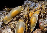 Filetail catshark eggcases, Parmaturus xaniurus, Class Chondrichthyes, Subclass Elasmobranchii, Order Carcharhiniformes, Family Scyliorhinidae, eastern Pacific Ocean