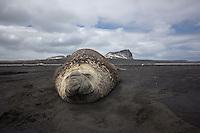 Southern Elephant Seal Bull on the beach at Heard Island, Antarctica