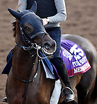 ARCADIA, CA - NOV 01: Mehronissa, owned by Rabbah Bloodstock LLC and trained by Ed Vaughan, exercises in preparation for the Breeders' Cup Turf Sprint at Santa Anita Park on November 1, 2016 in Arcadia, California. (Photo by Scott Serio/Eclipse Sportswire/Breeders Cup)