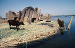 Marsh Arabs. Southern Iraq. Islands known as dibin. Reed island houses. Cattle, Haur al Mamar or Haur al-Hamar marsh collectively known now as Hammar marshes Irag 1984