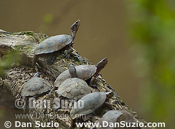 Western pond turtles, Clemmys marmorata, on a log at the edge of Jewel Lake, Tilden Regional Park, California